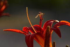 Red lily with fly Royalty Free Stock Photos