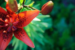 Red lily in a garden royalty free stock images