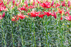Red lily in garden Royalty Free Stock Images