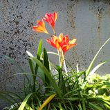 Red lily with green leaves on grey grunge background. Summer day sunny light, flower, plant, bloom, color, nature, blossom, natural, petal, beautiful, beauty royalty free stock images