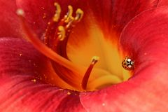 Red lily with Ladybug Stock Photo