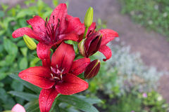 Red lily. Large flower red lily in garden Stock Photos