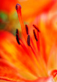 Red lily macro Royalty Free Stock Photography
