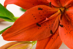 Red Lily Macro. Focus on stamen Stock Images