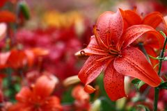 Red lily on a motley background. Royalty Free Stock Image