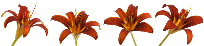 Red Lily Multiples royalty free stock image