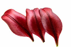 Red lily petal isolated royalty free stock image