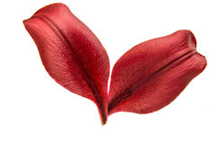 Red lily petal isolated royalty free stock photography
