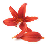 Red lily with petals Stock Photos