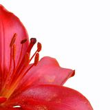 Red lily with pistils. Cropped isolated red lily with pistils in focus Royalty Free Stock Images