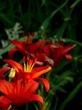 Red lily. Pistils and stamens. Stock Photo