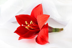 Red lily and ribbon Royalty Free Stock Photo