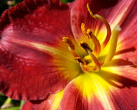 Red Lily. Stamen Close Up Royalty Free Stock Photo