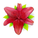 Red lily. Red vector lily print isolated with green leaves Stock Photography