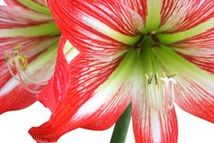 Red lily on white Royalty Free Stock Images