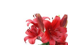 Red lily on white background Royalty Free Stock Images