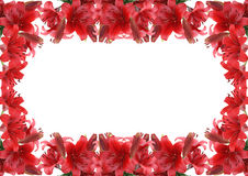 Red lily on white background Royalty Free Stock Photography