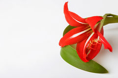 Red lily on white background Stock Photography