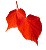 Red linden-tree leafs on white background Stock Image