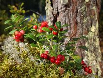 Red lingonberries near pine tree. Fresh wild lingonberries growing on moss, near a pine tree stock image