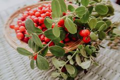 Red Lingonberry in the forest. Cowberry eurasian flora, forest lingonberry. royalty free stock photos