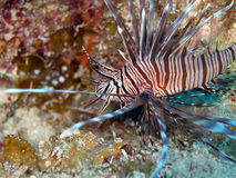 Red Lion Fish. A Red Lion Fish glides by over a colourful coral reef while stalking its prey.  The Lion Fish is gradually invading the Caribbean sea, and has no Stock Images
