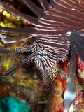Red Lion Fish. A Red Lion Fish glides by over a colourful coral reef while stalking its prey.  The Lion Fish is gradually invading the Caribbean sea, and has no Stock Photography