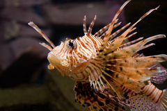 Red lion-fish. Shot in aquarium royalty free stock images
