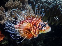 A red lion fish Pterois volitans in an aquarium. A red lion fish Pterois volitans in a salt water aquarium Royalty Free Stock Photo