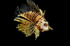 Red lion (Pterois miles) fish. On black background Stock Photography