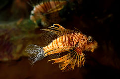 Red lion (Pterois miles) fish. In an aquarium Royalty Free Stock Photo