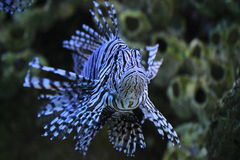 Red lionfish. The red lionfish (Pterois volitans) is the venomous coral reef fish from the Indian and western Pacific Oceans. The red lionfish is also found off Royalty Free Stock Images