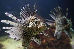 Red lionfish Stock Image