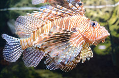 Red Lionfish. A Red Lionfish (Pterois volitans Stock Photos