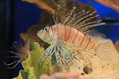 Red lionfish. The venomous red lionfish in the aquarium Royalty Free Stock Photography