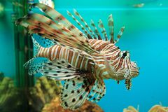 Red Lionfish. (Pterois volitans) aquarium Royalty Free Stock Images
