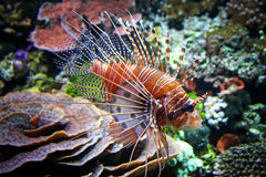 The Red lionfish. (Pterois volitans) in the water Stock Images
