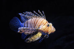 Red lionfish Stock Photography