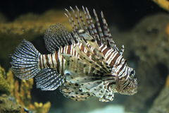 Red lionfish. The red lionfish (pterois volitans Royalty Free Stock Image