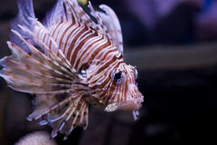 Red lionfish. Underwater shot in aquarium stock image