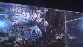 Red lionfish in the aquarium. Exotic fish in aquarium surprise visitors by its wide variety. Underwater world is rich in sea habitants of bright colorations and stock video