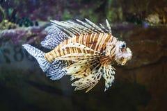 Red lionfish in aquarium. Tank Stock Photos