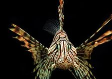 Red Lionfish Aquatic Animal. Red Lionfish an Aquatic animal royalty free stock photos