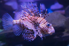 Red lionfish. Beautiful fish family angelfish Royalty Free Stock Image