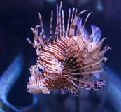 Red lionfish Royalty Free Stock Image