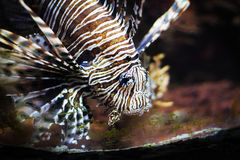 Red lionfish. A beautiful red lionfish swimming in the water Royalty Free Stock Images
