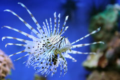 Red lionfish Royalty Free Stock Photography