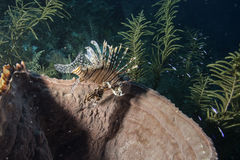 Red Lionfish Stock Photos
