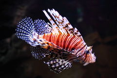 Red Lionfish illuminated in aquarium. Side view of a venomous coral reef fish - the Red Lionfish - illuminated in a dark setting Royalty Free Stock Photos