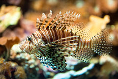 Red lionfish (lat. Pterois volitans). Focus is on the eye Stock Photo
